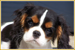 """""""That's right, chump. You're looking at a Cavalier King Charles spaniel, the genuine article, so cute you won't need sugar on your cereal for a month just from looking at me.  """"Um...why are you looking at me like that?"""""""