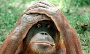 Unhappy_orangutan_0