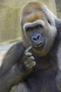 perplexed_gorilla_small1